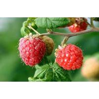 Buy cheap Fructus Rubi Extract/ Raspberry Extract/Raspberry Ketone extracts/ P Hydphenyl butanone from wholesalers