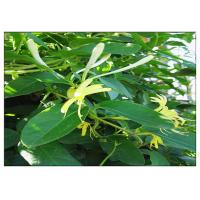 Buy cheap Anti Virus Honeysuckle Flower Extract , Lonicera Japonica Flower Extract CAS 327 97 9 from wholesalers