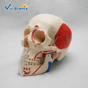 Wholesale Simulation Training Anatomically Correct Skull VIC-104B Human Body Skull Life Size from china suppliers