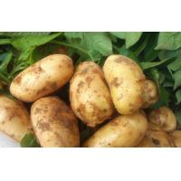 China Good Taste Juicy Organic Potatoes Long Shelf Life , No Insect For Export on sale