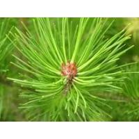 Buy cheap Nature Herb Wild Pine Needle Extract Powder Green For Edible from wholesalers