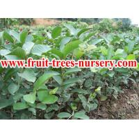 Fruit trees : Guava Manufactures