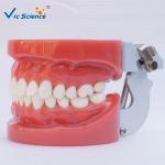 Buy cheap Standard Dental Study Models 28/32 Pcs Typodont Model For Bilological from wholesalers