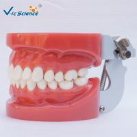 Wholesale Standard Dental Study Models 28/32 Pcs Typodont Model For Bilological from china suppliers