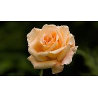 Wholesale Rose / Sunflower / Carnation 3D Lenticular Postcards Moving Pictures 3D from china suppliers