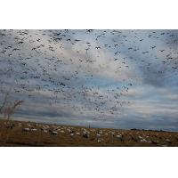 Buy cheap WHITE ROCK SNOW GOOSE WIND SOCK BLIND DOOR DECOYS 2 PACK WITH FEEDER HEADS GEN 2 from wholesalers
