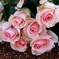 Buy cheap hot selling cutting flower Flowers/Pink Roses For Wedding/ High Quality Fresh from wholesalers