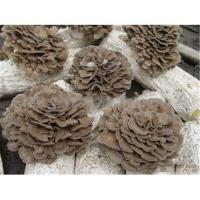 Buy cheap Maitake Extract- Maitake Polysaccharides from wholesalers