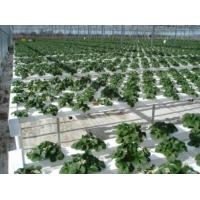 Garden rubber tree--tissue culture plug plant Manufactures