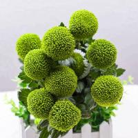 Buy cheap Fresh cut flowers types Chrysanthemum for  flower shop green color from flower base flower best gifts ping pong ball from wholesalers