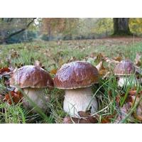 Buy cheap Boletus edulis,Cep, Porcino or Penny-bun Bolete from wholesalers