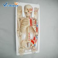 Buy cheap Medical Science 85cm Anatomical Skeleton Model For Anatomy Class With Painted product