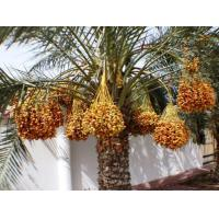 Buy cheap Date Palm Mesh Bags With UV Protect from wholesalers