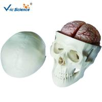 Buy cheap Human Skull And Brain Model With 8 Parts VIC-104E For School Bilological Class from wholesalers