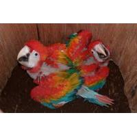 Buy cheap Fertile Parrot Eggs For Sale from wholesalers