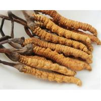 Buy cheap Wild Winterworm summerherb Chinese Caterpillar Fungus Cordyceps sinensis Berk Sacc whole part dong chong xia cao from wholesalers