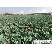 Buy cheap Cold Tolerant Early Flat Dutch Cabbage 20 KG / BAG Rich In Vitamin C from wholesalers