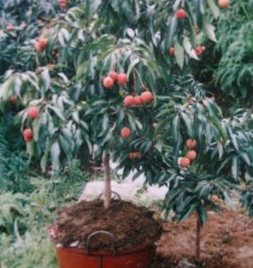 Fruit trees : Leechee,Litchi,Litchi chinensis,Lichee,Seedless litchi Manufactures