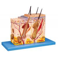 Buy cheap Skin Block  Human  Anatomy Model 26 position displayed training doll from wholesalers