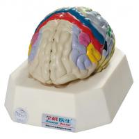 Buy cheap Functional Localization of Cerebral Model for Hospitals , Schools Training from wholesalers