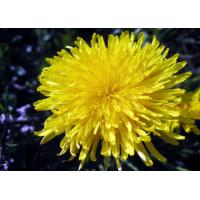 Buy cheap Chrysanthemum Extract from wholesalers