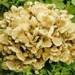 Buy cheap Maitake Mushroom Extract Powder(Grifola Frondosa) from wholesalers