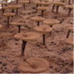 Buy cheap Reishi Mushroom P.E./Ganoderma lucidum Extract/Polysaccharide from wholesalers