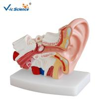 Wholesale Medical Human Anatomical Model Teaching Plastic Ear Model Anatomy For Students VIC-303D from china suppliers