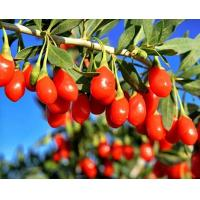 Buy cheap 350Granule/50g Packed in 5Kg Bag organic goji berry ,wolfberry seeds from wholesalers