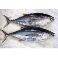 Hot sale Frozen WR Bonito Tuna Fish With Best And Competitive Prices. Manufactures