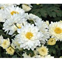 Buy cheap Hot sale Chrysanthemum Extract/ Florits Sendranthema Extract/ Matricariae flos Extract from wholesalers