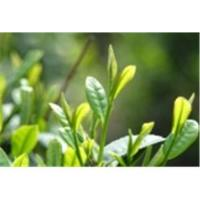 Buy cheap Green Tea Extracts from wholesalers