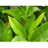 Buy cheap Green tea extact EGCG60% from wholesalers