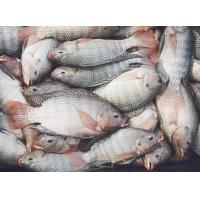 Shallow skinned tilapia fillet Manufactures