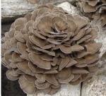 Buy cheap Organic Grifola frondosa powder / Organic Maitake mushroom powder from wholesalers