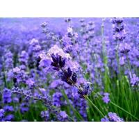 Buy cheap Lavender Essential oil from wholesalers