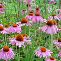 Wholesale Echinacea Purpurea P.E. from china suppliers