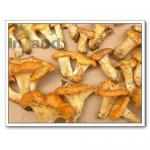 Buy cheap Mushrooms,Chanterelle,Chanterelle Mushrooms,Cibarius,Mushrooms from wholesalers