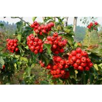 dried hawthorn berry extract fruit leaf extract with flavone 5%-80% hawthorn leaf extract Manufactures