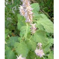 Buy cheap Agastache rugosus extract, Indian mint Extract, 10:1 TLC, TCM Extract, Chinese manufacturer, Shaanxi Yongyuan Bio from wholesalers