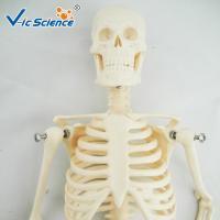 Buy cheap 45cm Mini Anatomical Skeleton Model Anatomically Correct Skeleton 3d Model product