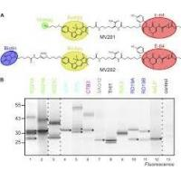 Buy cheap Staphylococcus Aureus v8 Protease  Glutamic Acid Proteases for Analyzing Protein Sequencing from wholesalers