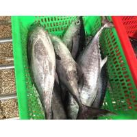 New Production Ocean Seafoods Of Frozen Tuna Fish With Size 300-500g. Manufactures