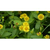 Buy cheap Elecampane Flower extract from wholesalers