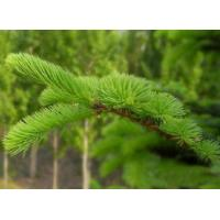 Buy cheap Green Chinese Herbal Powder , Wild Collected Pine Needle Powder from wholesalers