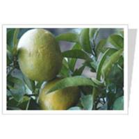 Buy cheap Citrus Aurantium P.E. from wholesalers
