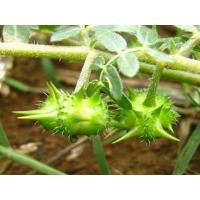 Buy cheap factory Supply High Quality tribulus terrestris Fruit Extract - Tribulus terrestris L. from wholesalers