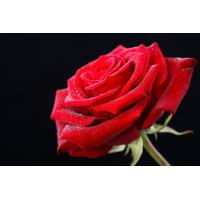 Wholesale 2019 Kunming Flower center direct sale high quality fresh cutting flower cut fresh flower wholesale Red Rose flower from china suppliers