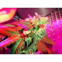 Buy cheap electronic Ballast 600w grow light from wholesalers
