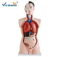 Wholesale Full Size Human Torso Model  85cm Man Torso 19 Parts Oem Service from china suppliers